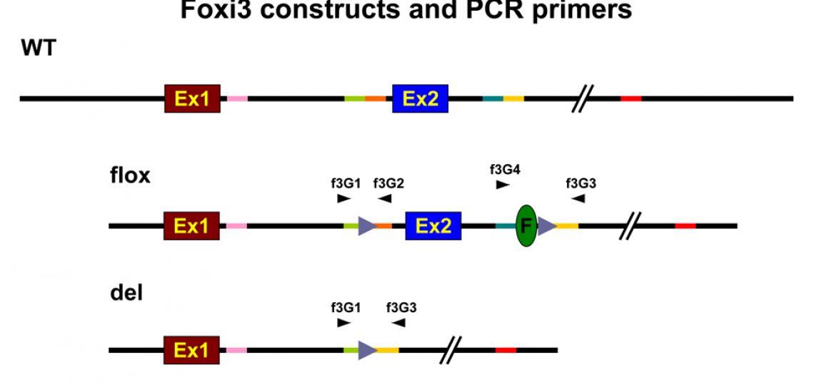 foxi3-genotype2-3.jpg