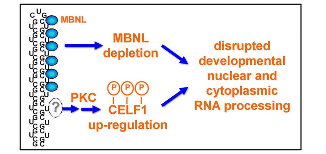 Expanded CUG repeat RNA forms an imperfect hairpin that sequesters