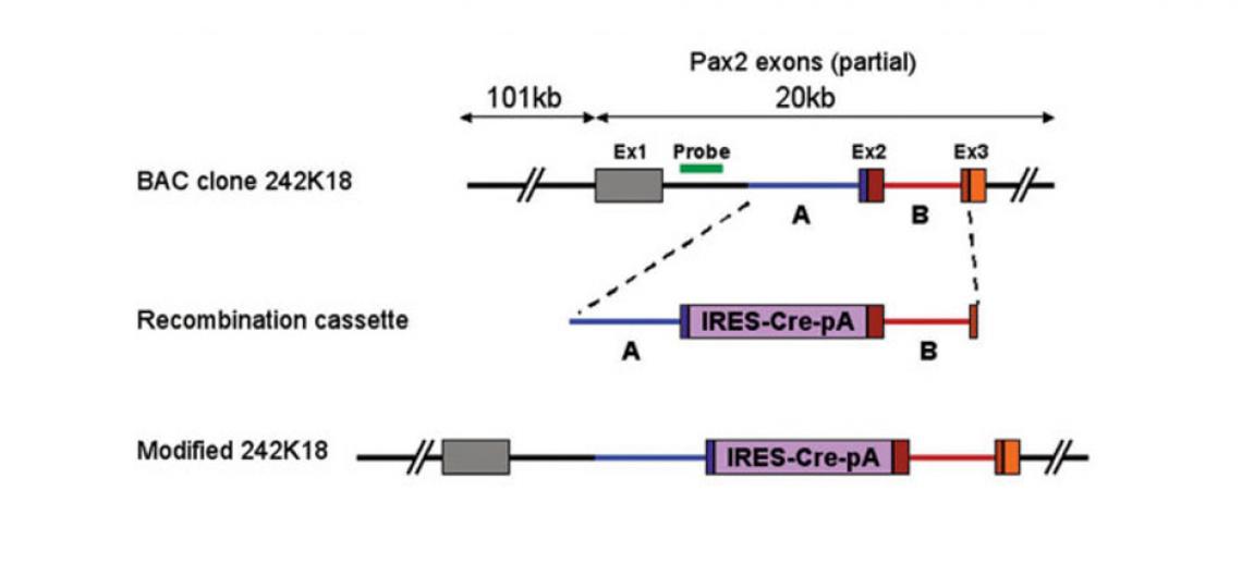 Pax2-Cre Transgenic Mice