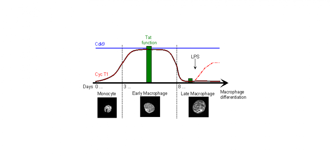 Regulation of cyclin T1 expression and Tat activity during macrophage differentiation.