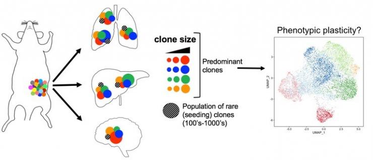 Evolution of multi-organ metastases in TNBC: Selection of genomic lineages & phenotypic plasticity