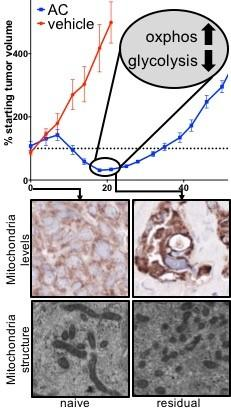 Mechanisms of mitochondrial plasticity in residual TNBCs