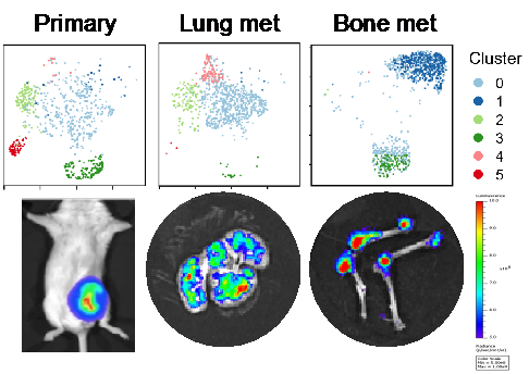 Clonal tracking & single-cell analysis of multi-organ metastases to investigate phenotypic and metabolic plasticity