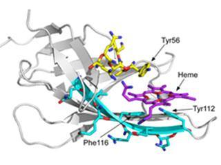 An anthrax bacillus hemophore stealing human heme.