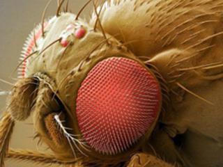 Advancing human disease genetics using Drosophila models