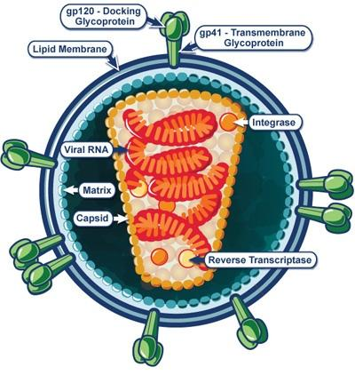 An illustrative diagram of a single, infective viral particle of HIV virus.