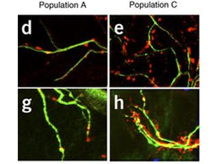 Identification of diverse astrocyte populations and their malignant analogs