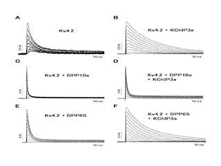 Figure 3: Potassium Channels show dramatically different inactivation properties.