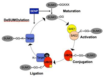 The SUMOylation Cycle