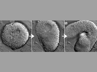 Time-lapse series of an embryonic explant undergoing extension morphogenesis