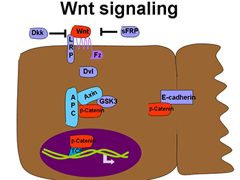 Wnt Signaling and Breast Cancer
